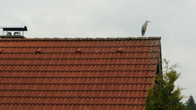 이웃집 지붕에 앉아 우리집 연못을 노리고 있는 왜가리